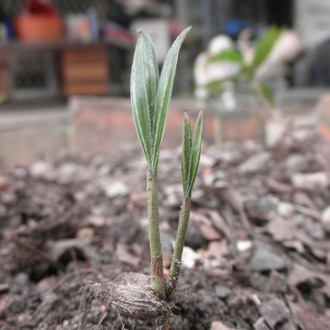 Palm seedling germinating