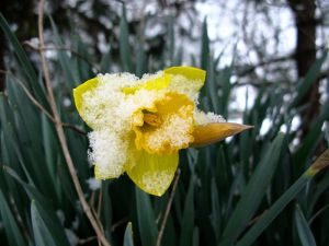 Daffodil with spring snow