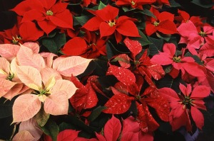Red and pink poinsettias